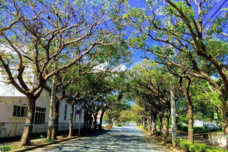 沖縄うるま市緑町の並木道