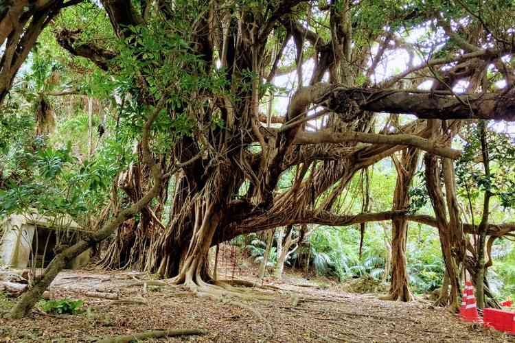 沖縄最大級ガジュマルの樹