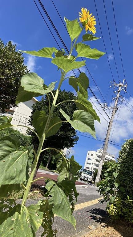 沖縄占いチュチュうるま店の向日葵